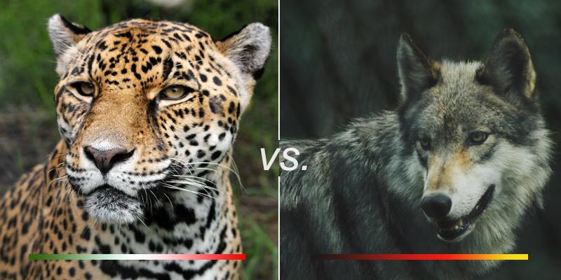 jaguarlobo